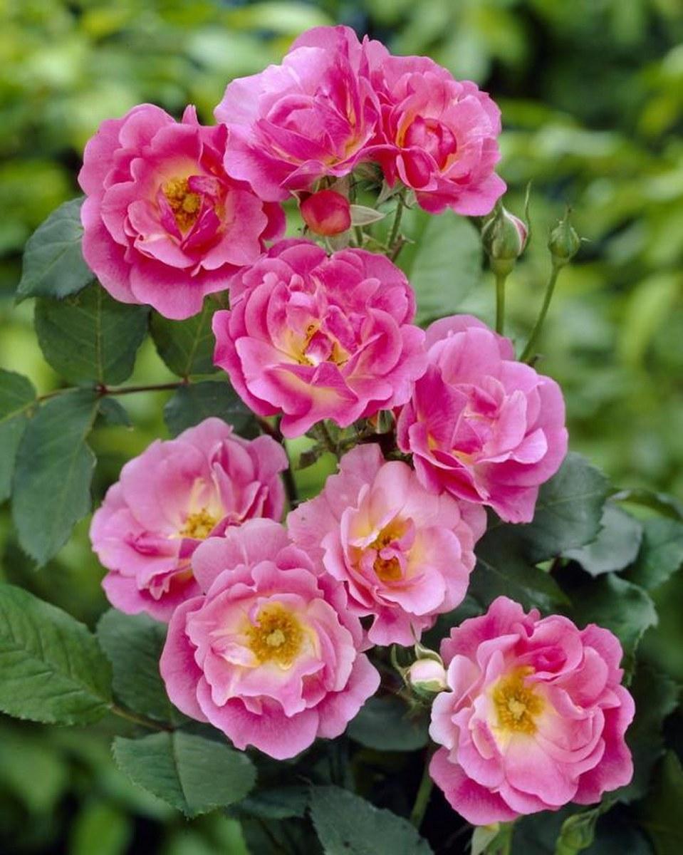 Кредитная роза плетистая уильям баффин выращивание в спб год, Куда