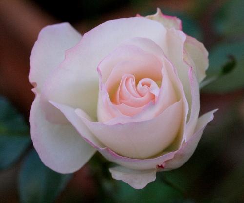 rosen geleksi katalog sorten samen rosen geleksi pflege vermehren und uberwintern rosen. Black Bedroom Furniture Sets. Home Design Ideas