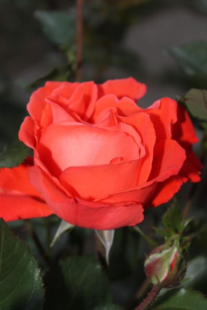картинки розы от саши бывают
