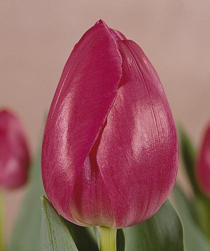 tulpen karmen katalog sorten samen tulpen karmen pflege vermehren und uberwintern tulpen. Black Bedroom Furniture Sets. Home Design Ideas