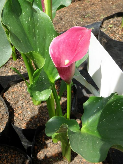 pink persuasion calla lily or arum lily bulbs for sale