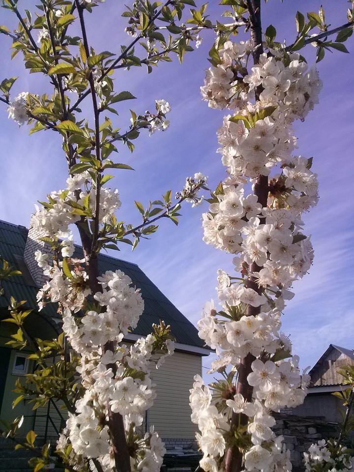 kirschbaum sorten und arten kirschbaum pflanzen pflege. Black Bedroom Furniture Sets. Home Design Ideas