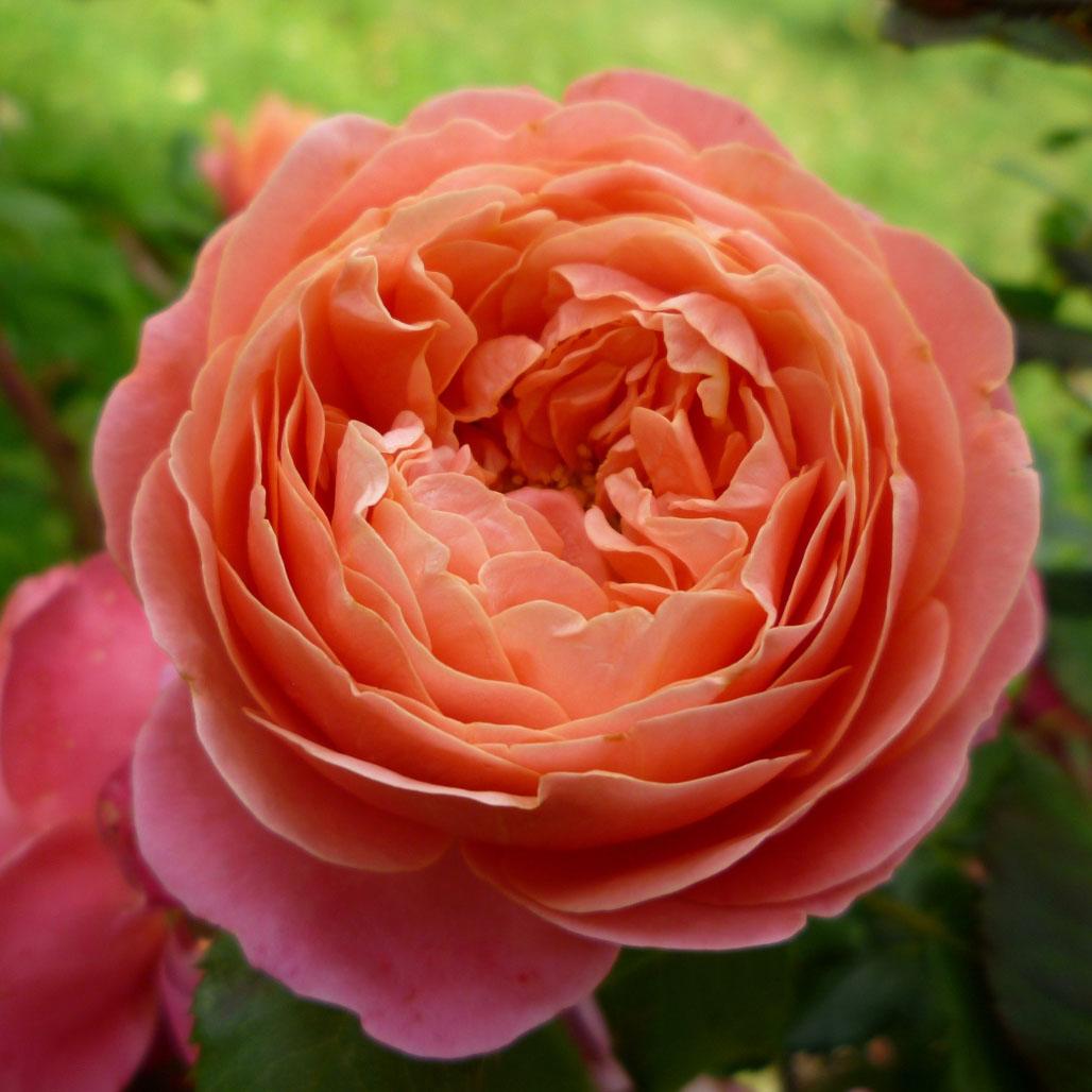 Роза мэри энн фото и описание
