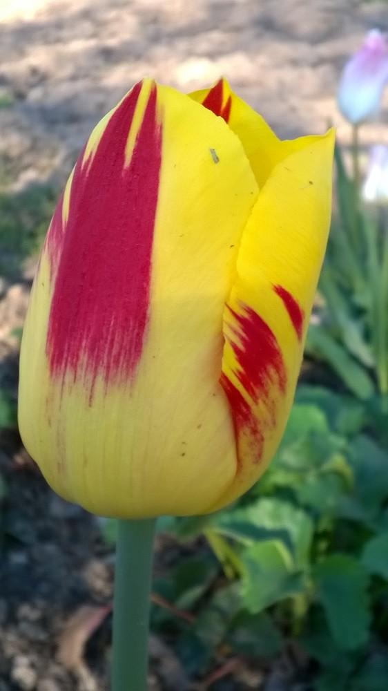 tulpen washington katalog sorten samen tulpen washington pflege vermehren und uberwintern. Black Bedroom Furniture Sets. Home Design Ideas