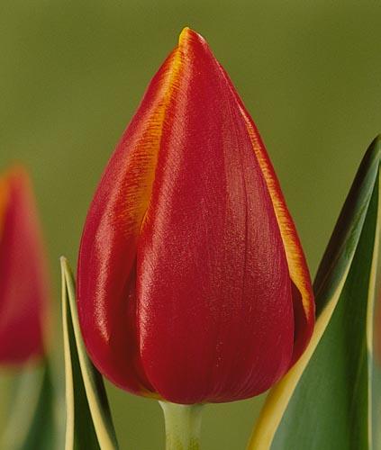 tulpen fernanda katalog sorten samen tulpen fernanda pflege vermehren und uberwintern. Black Bedroom Furniture Sets. Home Design Ideas