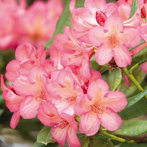 rhododendron balalayka katalog sorten samen rhododendron balalayka pflege vermehren und. Black Bedroom Furniture Sets. Home Design Ideas