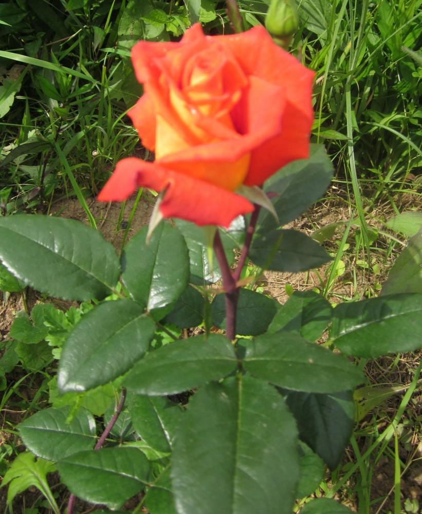 роза моника фото описание отличие предыдущей