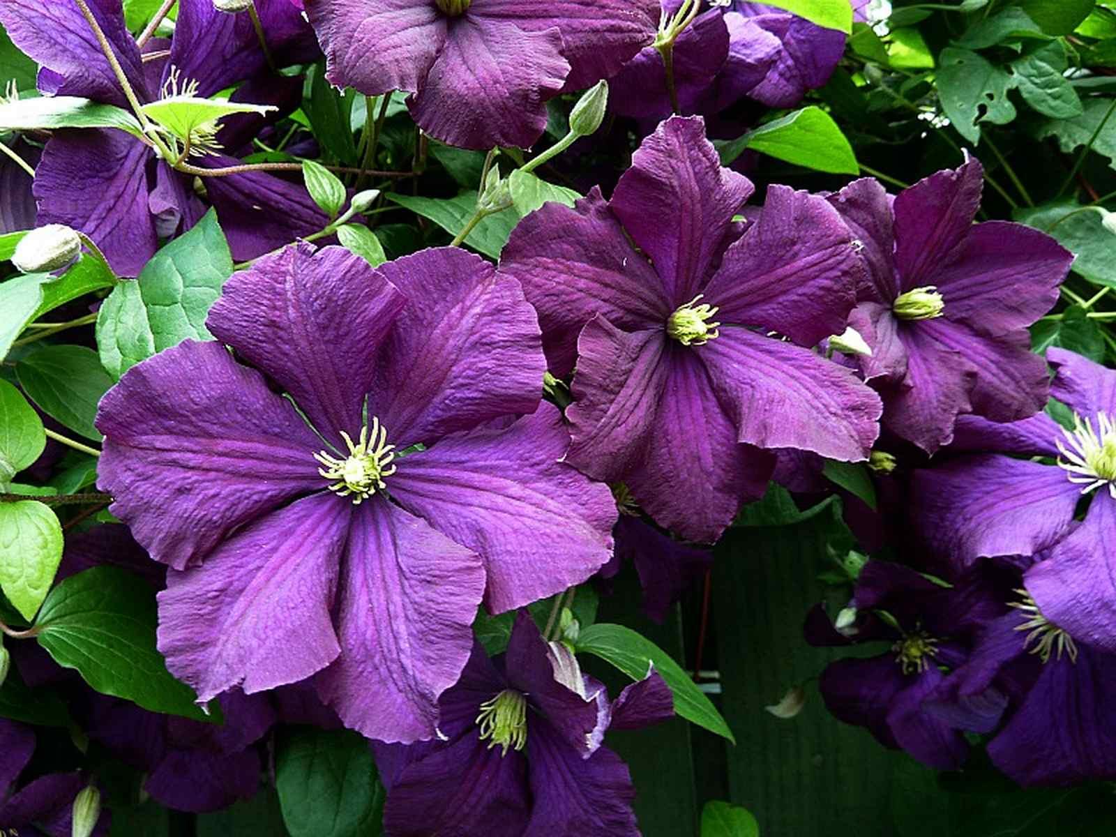 clematis etoile violette types and varieties clematis. Black Bedroom Furniture Sets. Home Design Ideas