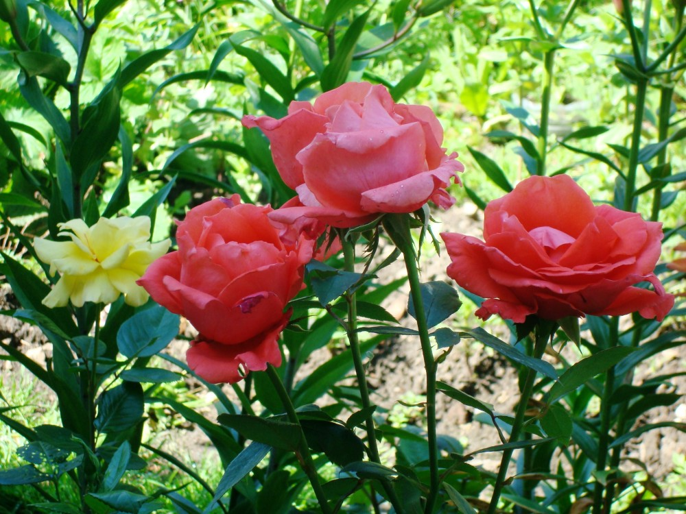 rosen doris tisterman katalog sorten rosen doris. Black Bedroom Furniture Sets. Home Design Ideas