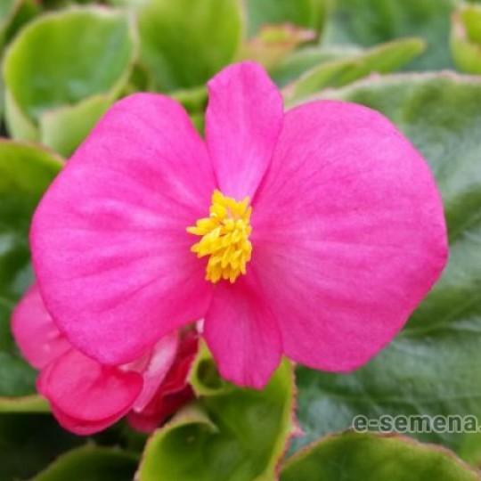 Picotee White-Pink