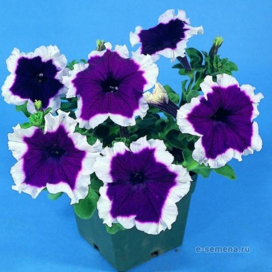 Петуния F1 крупноцветковая фиолетовая с белой каймой