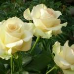 Розы Кеваи