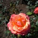 Розы Харкнесс Мариголд
