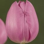 Тюльпаны Боккерини