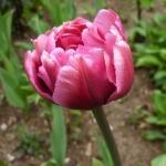 Тюльпаны Колумбис