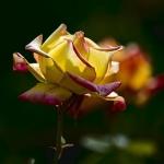 Розы Аттракцион