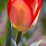 Тюльпаны Рио Гранде