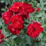 Розы Кронджувел