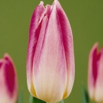 Тюльпаны Капри Страйпд