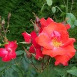 Розы Фред Лодс