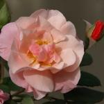 Розы Клейр Матин
