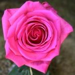Розы Бугатти