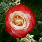Розы Ностальжи