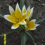 Тюльпаны Дасистемон