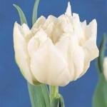 Тюльпаны Кардинал Минщенти