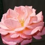 Розы Нью Зиланд