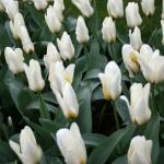 Тюльпаны Пуриссима