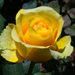 Розы Ст Патрик