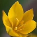 Тюльпаны Ньюстревье