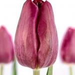 Тюльпаны Рекреадо