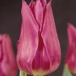 Тюльпаны Лилишарм