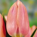 Тюльпаны Сваровски