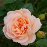 Розы Гейша