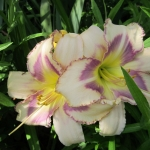 Daylily Destined to See