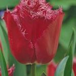 Тюльпаны Мустанг