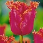Тюльпаны Пати Тайм