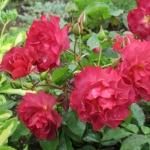 Розы Кинко де Майо