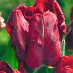 Тюльпаны Бастон Пэррот