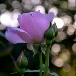 Розы Блю Риббон