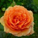 Розы Ашрам