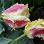 Тюльпаны Зампа Пэррот