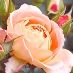 Розы Абсент Френдс