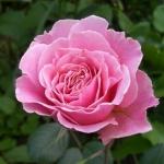 Розы Хло Ренессанс