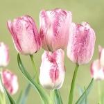 Тюльпаны Модерн Стайл