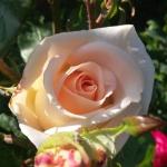 Розы Осиана