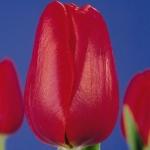 Тюльпаны Полдербой